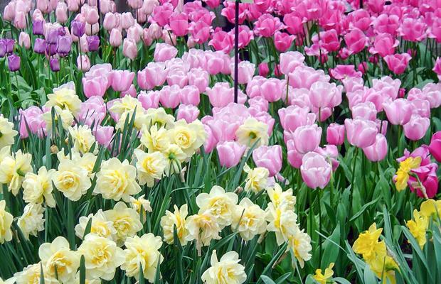 תהלוכות פרחים בהולנד עם ילדים